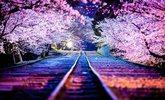 2014年日本樱前线盛开期